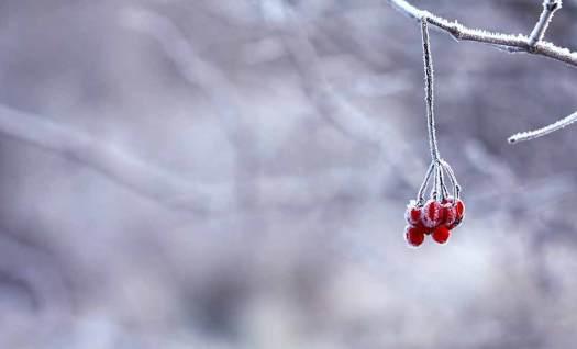 winter frost berries on tree in maidstone