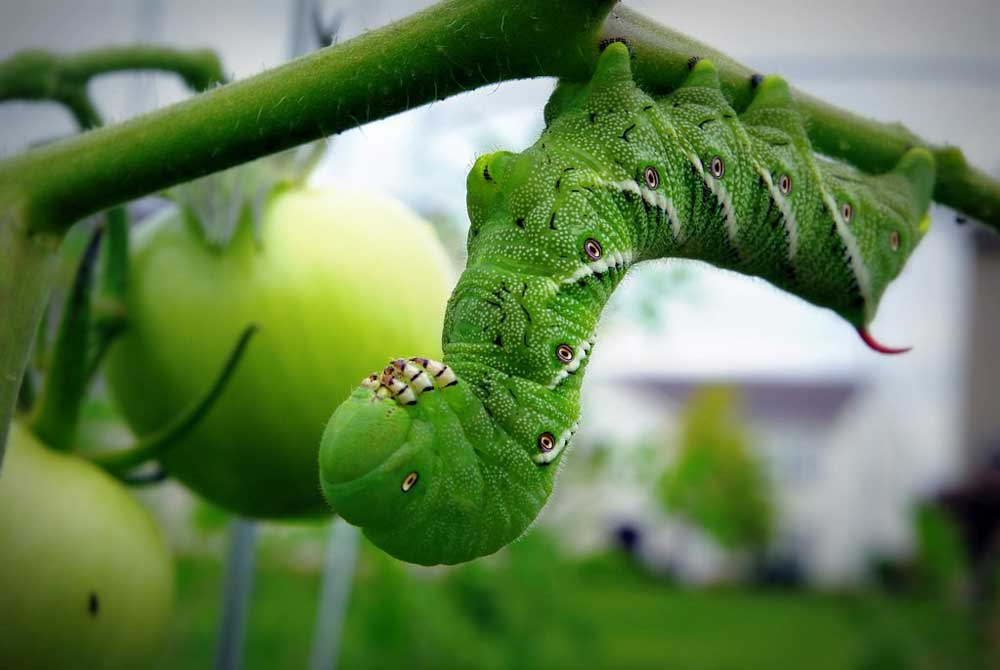Nicotiana Paniculata tobacco plants horn worm history.