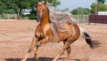 palomino-horse-hollywood-bots-sots-remount-sale