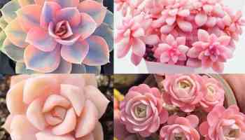 pink succulents pink cactus cowgirl magazine plant plants