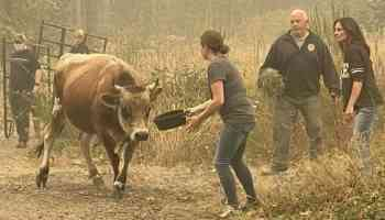 cowgirl 911 cattle evacuations oregon cowgirl magazine