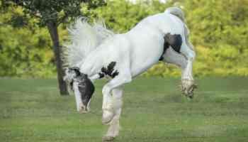 gypsy vanner cowgirl magazine