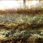 Zlikwidowano sporą plantację marihuany