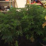 Uprawiał sobie w domu takie roślinki…33-latek usłyszał zarzuty