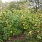 Podczas spaceru została odkryta uprawa marihuany. Policjanci oczekiwali na właścicieli