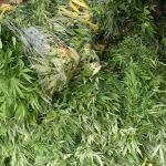Niedaleko Krakowa zlikwidowano ogromną plantację marihuany