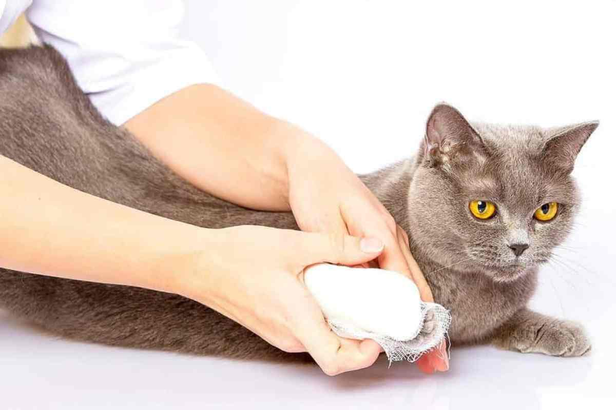Jak kot może zarazić się FIV?