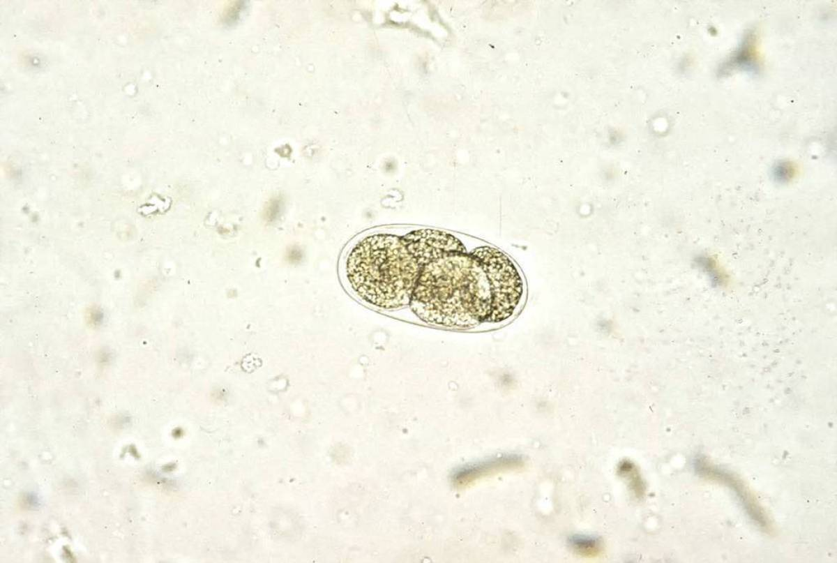 Tęgoryjec u kota - Ancylostoma tubaeforme