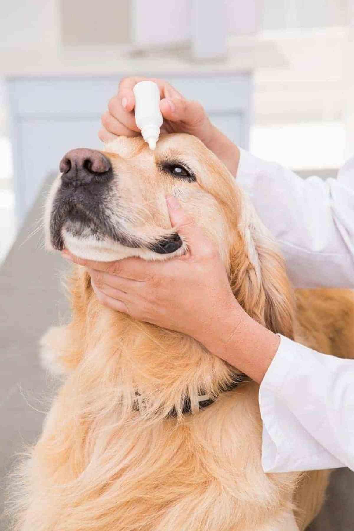 Jak dbać o oczy Twojego psa?