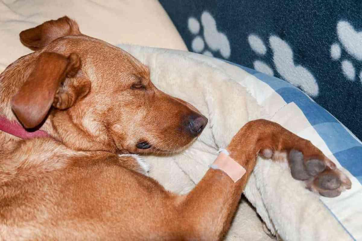 Leczenie dirofilariozy u psa