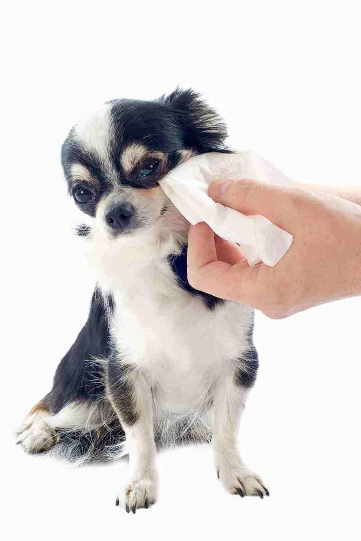 Oczyszczanie oczu psa