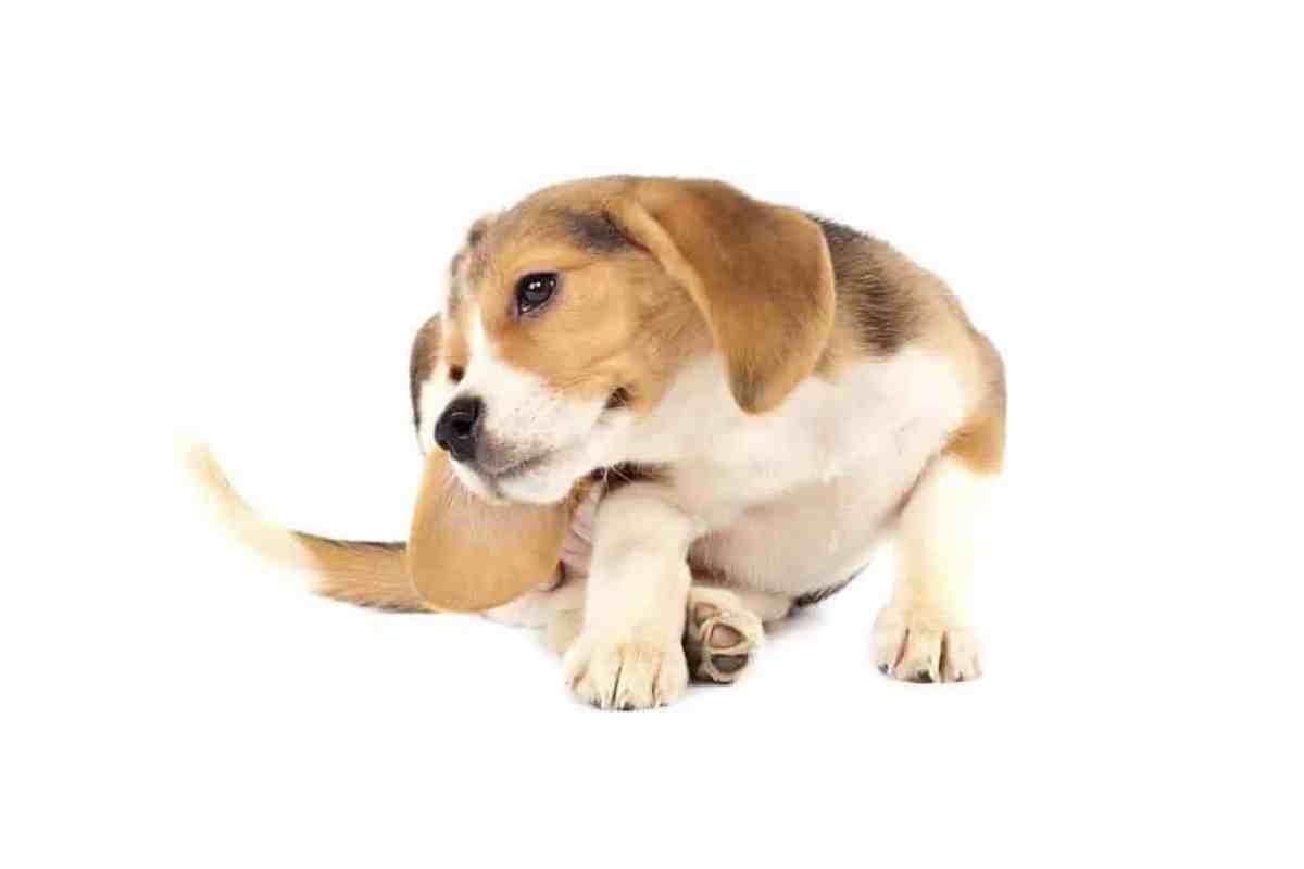 Co to jest łupież u psa?