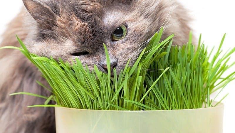 Kot wymiotuje po zjedzeniu