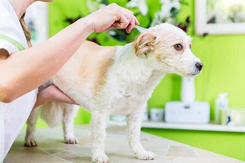 Alergia psa na pchły