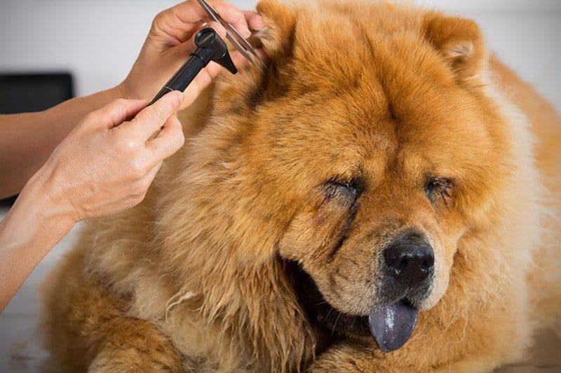 Ciało obce w uchu psa