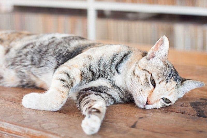 Jakie są objawy chorób serca u kota?