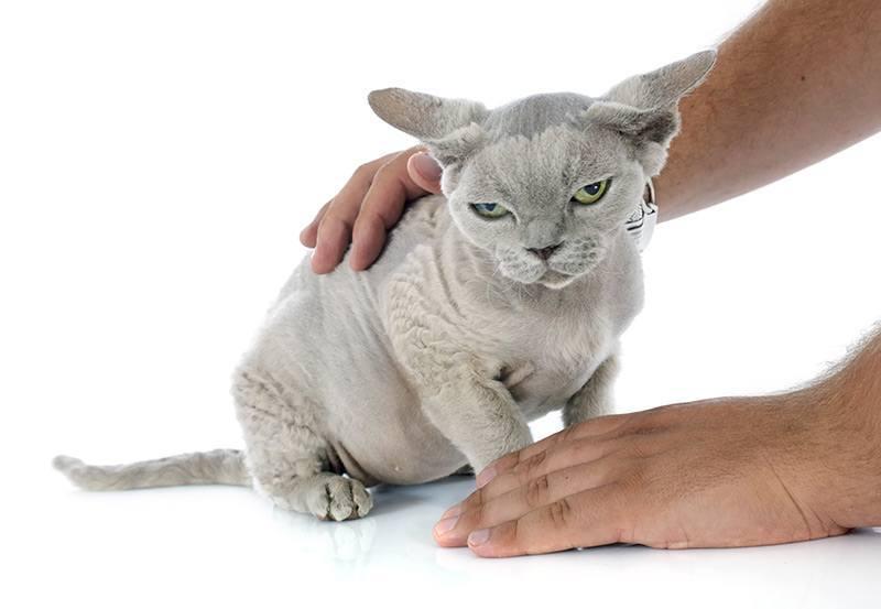Jakie koty są najbardziej narażone na niewydolność układu krążenia?