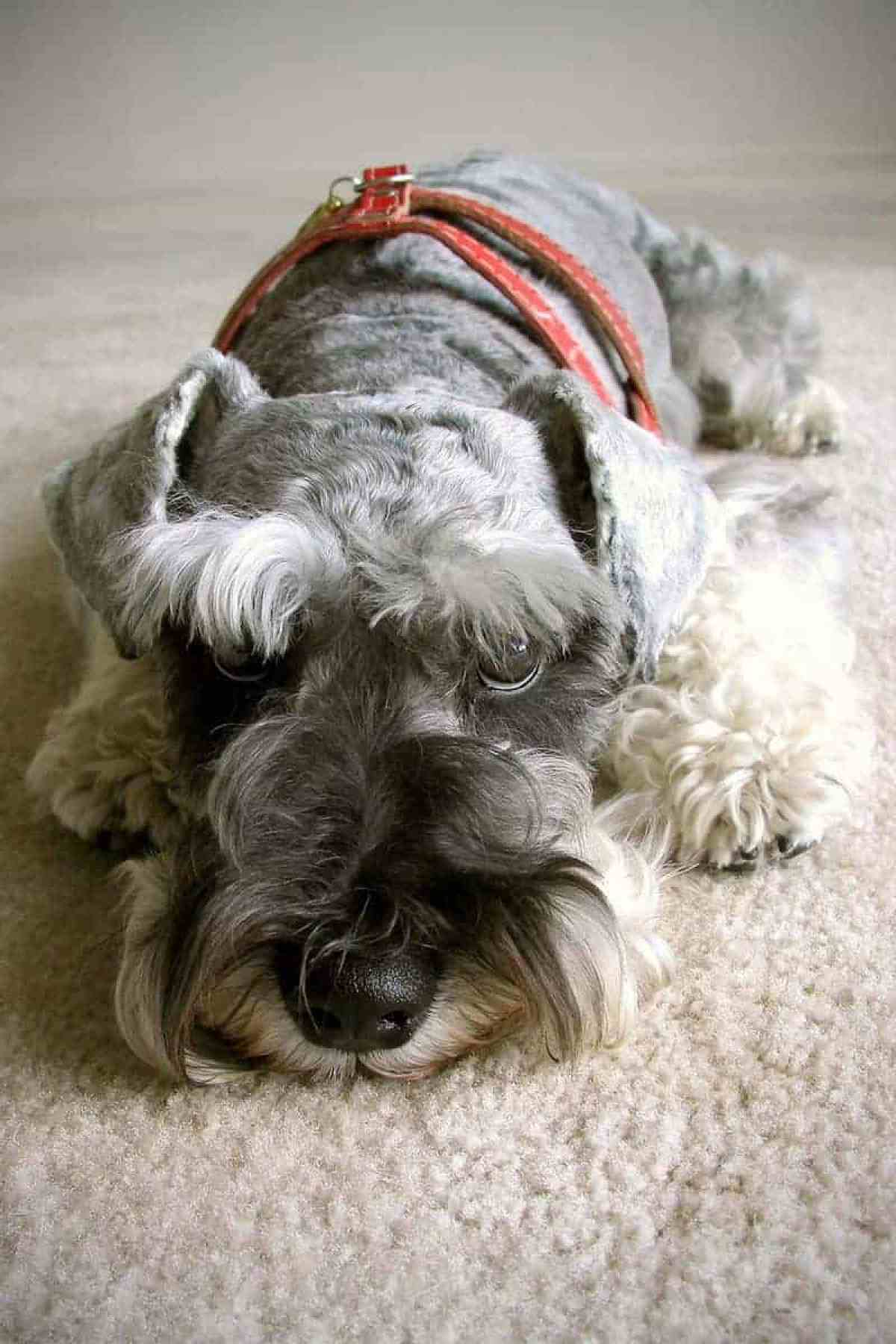 Zapalenie trzustki u psa