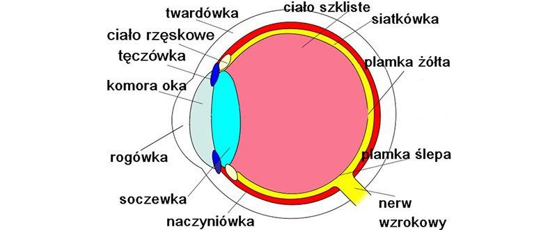 Schemat obrazujący położenie soczewki w obrębie oka