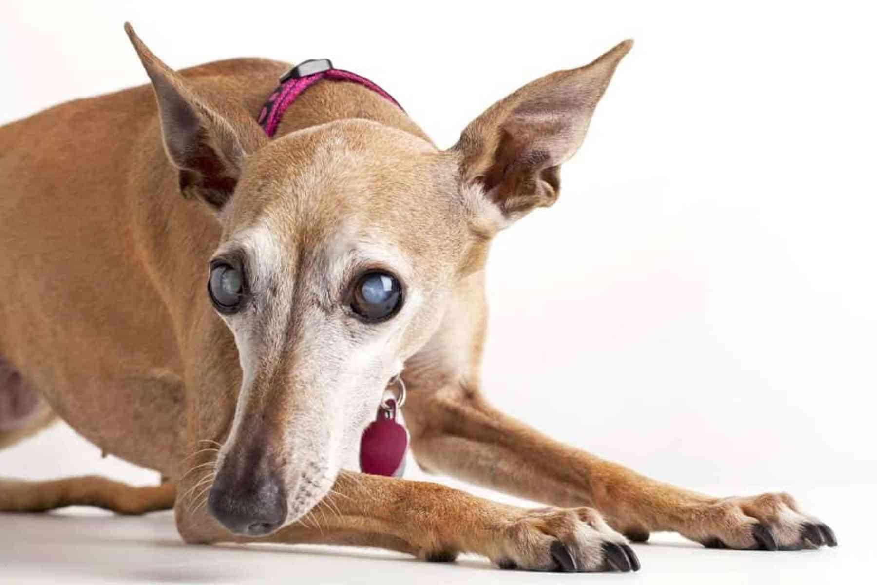 Zaćma U Psa Jak Rozpoznać I Leczyć Kataraktę U Psa