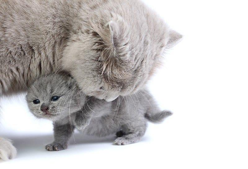 Ciąża i poród u kotów brytyjskich