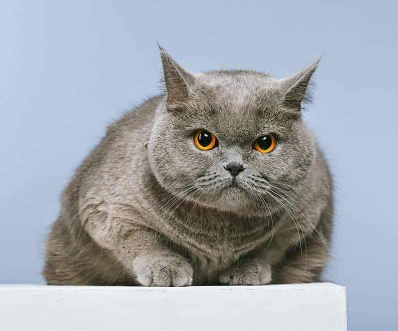 Czy warto zdecydować się na kota brytyjskiego?