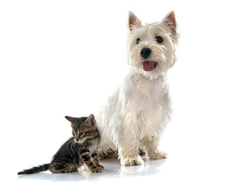 West Highland White Terrier charakter