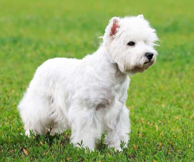 Przewlekłe włókniejące zapalenie płuc west highland white terrierów