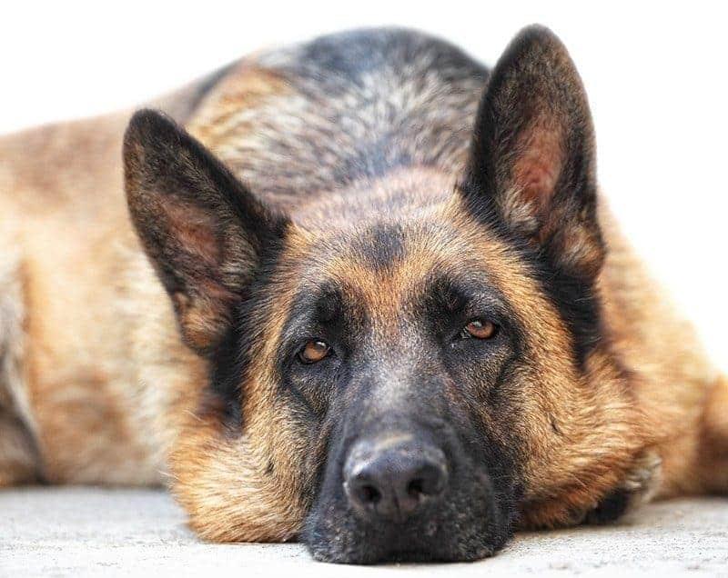 Które psy chorują na Cushinga?