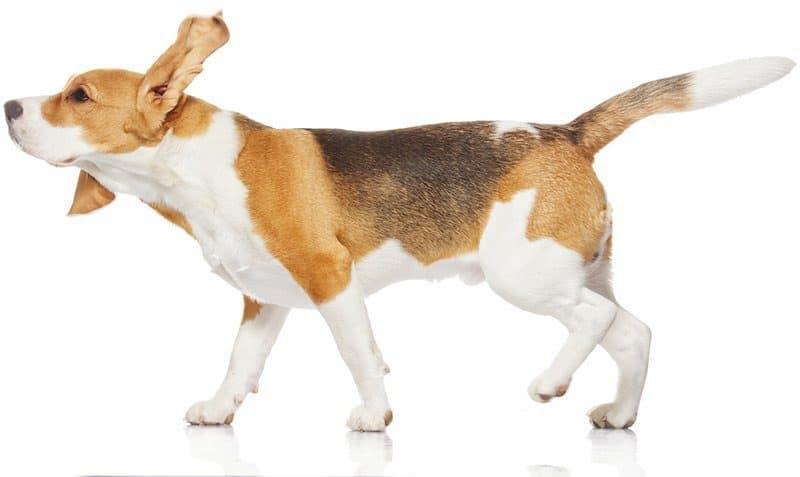 Rasa Beagle