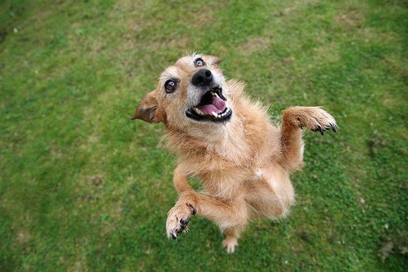 Szczekanie u psa jest jedną z form komunikacji