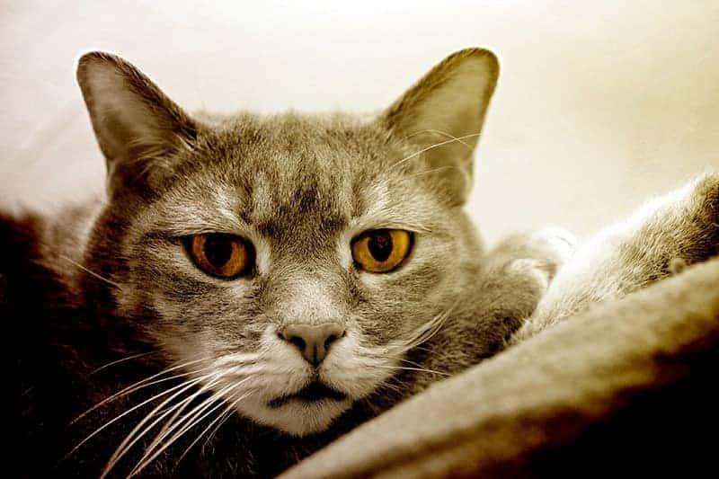 Świąd u kota potrafi być bardzo dokuczliwy