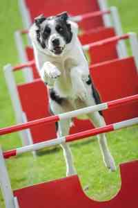 Agility dla psa: co to jest, jak zacząć i jakie przeszkody ustawić na torze?