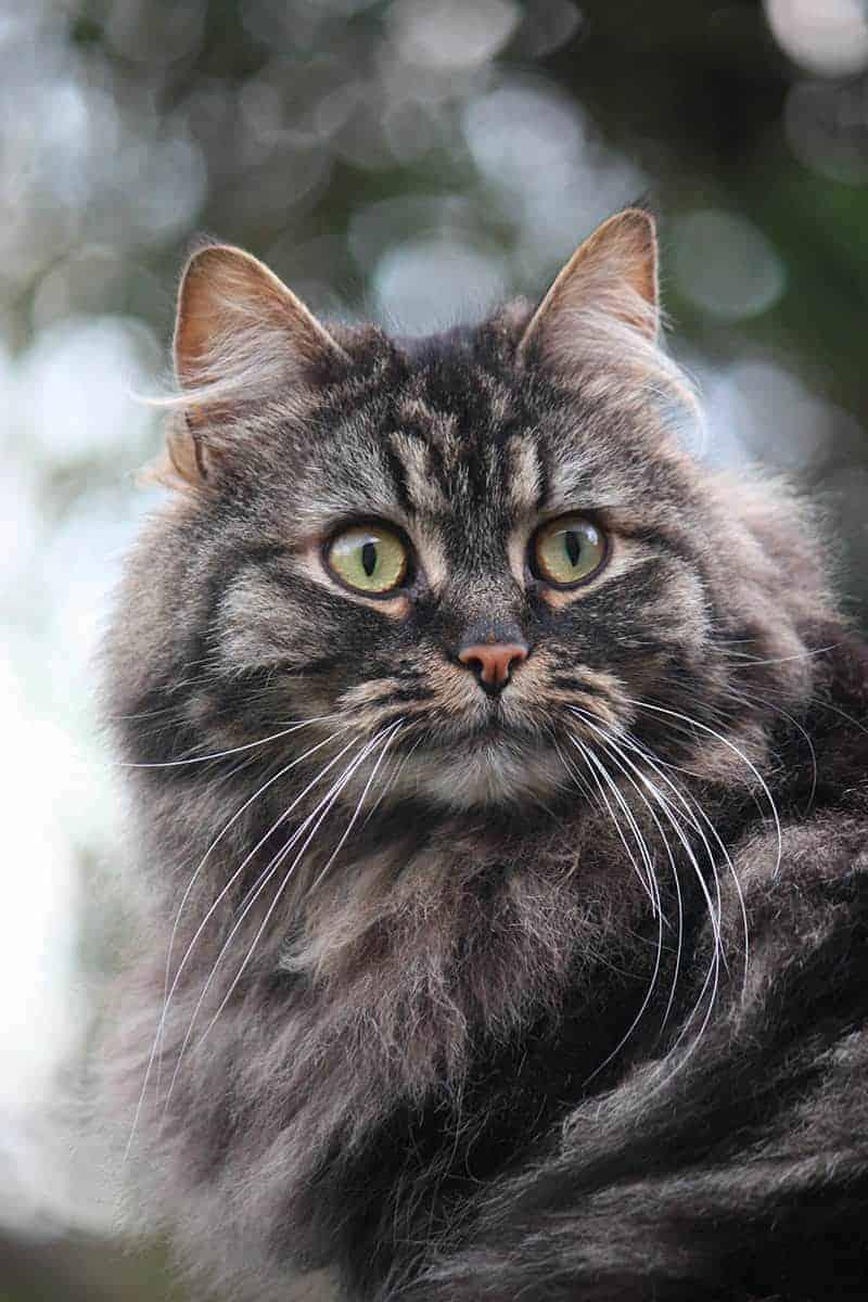 Kot norweski leśny charakter
