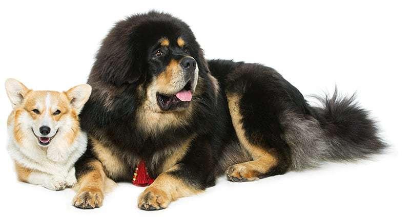 Mastif tybetański charakter