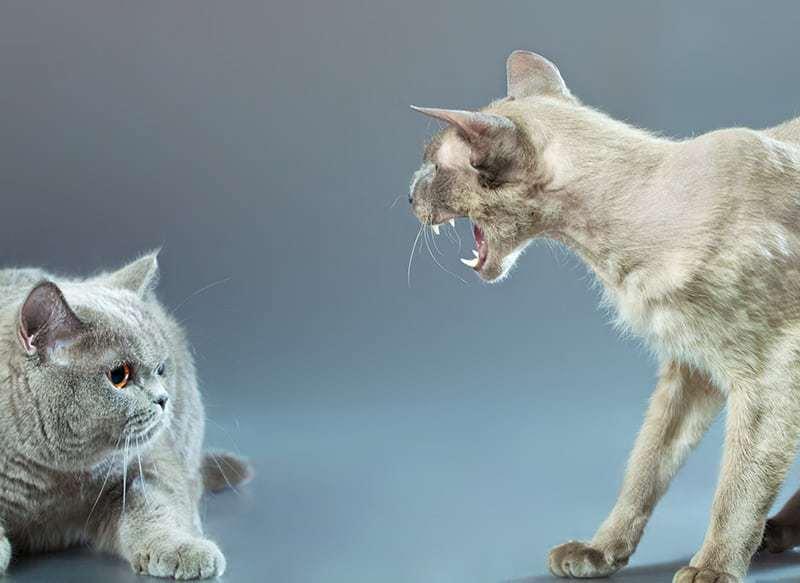 Feromony mogą pomóc uspokoić agresywnego kota
