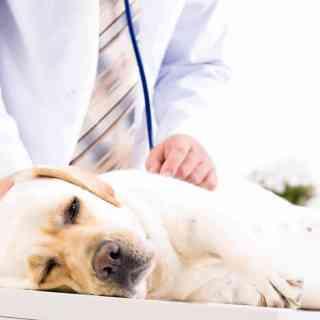 Co robić kiedy pies wymiotuje