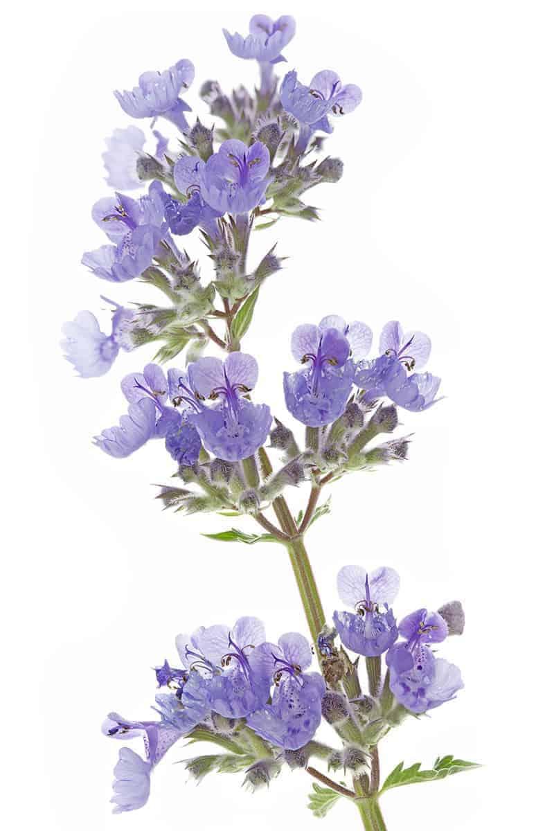 Kocimiętka kwiaty