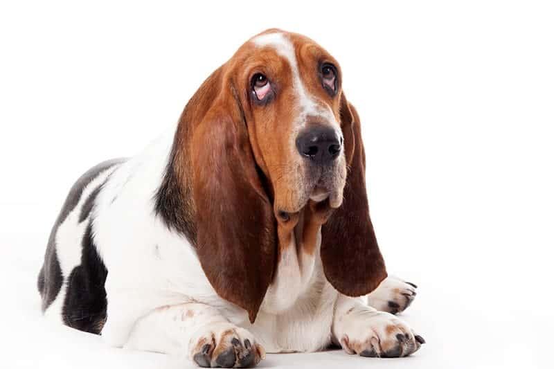 Basset hound opis rasy