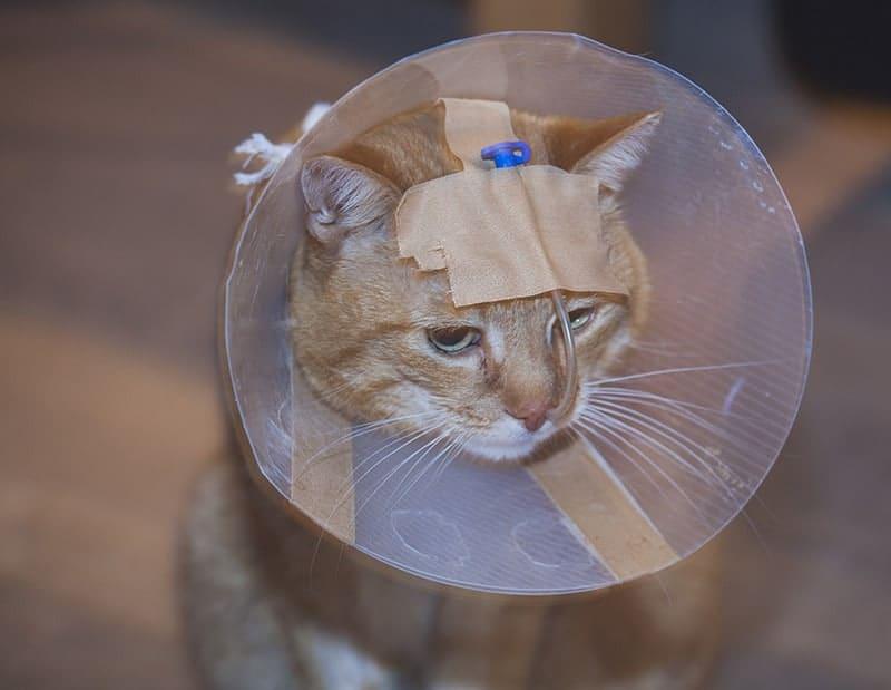 Stłuszczenie wątroby kota zgłębnik