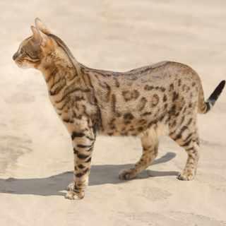 Kot savannah charakterystyka