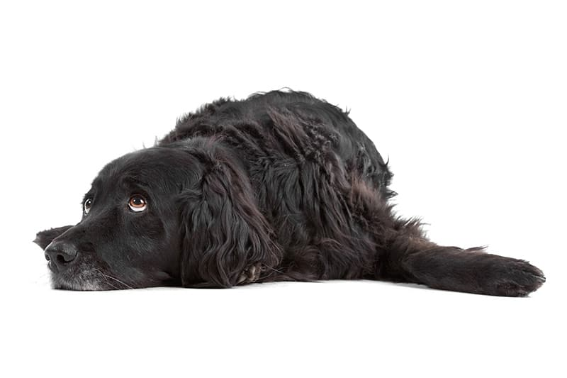 Bakteryjne zapalenie płuc u psów