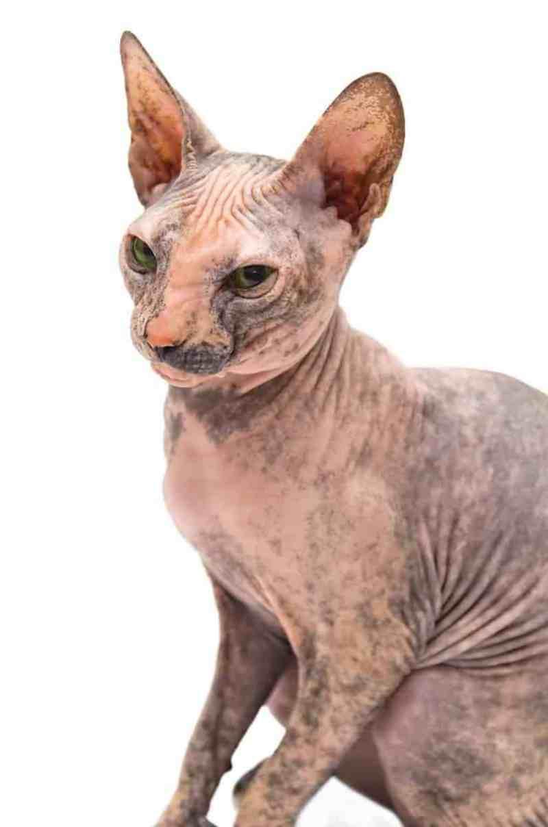 Kot sfinks choroby