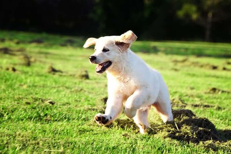 Zachłystowe zapalenie płuc u psa