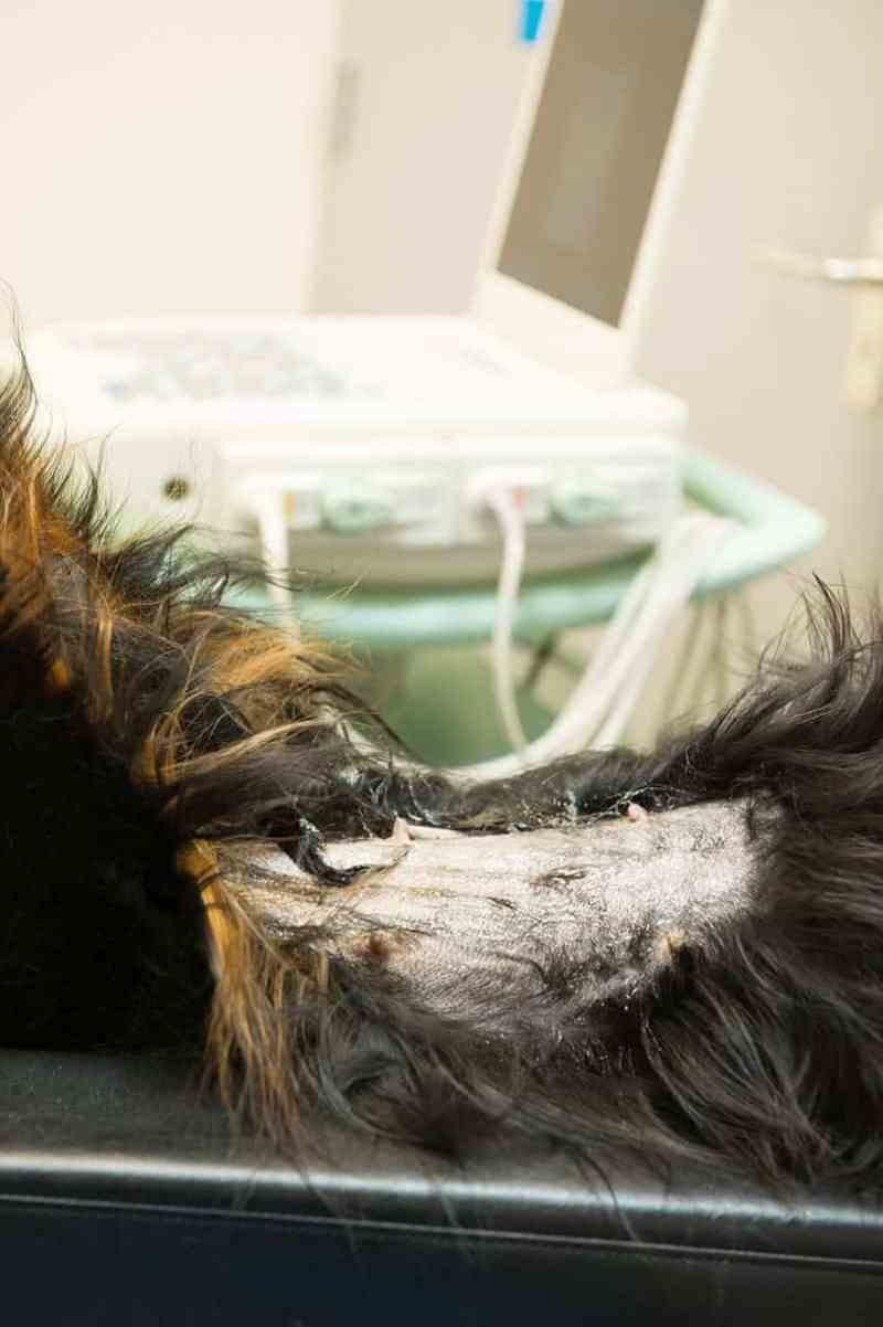 Jak rozpoznaćraka skóry u psa?