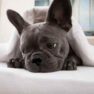 Suchy nos u psa