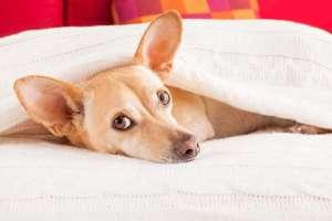 Gorączka u psa: co podać i jak zbić wysoką gorączkę u psa?