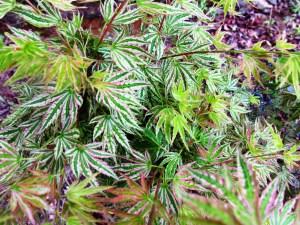 Acer Palmatum Higasa