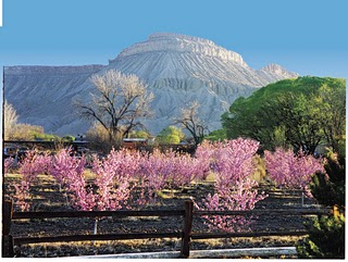 Palisade peach orchard