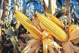 Monsanto droughtgard corn via Real Science